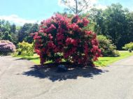 Dwarf Crape Myrtle Red 5 Seeds - Longest Blooming Tree